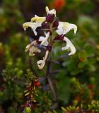 Lappspira (Pedicularis lapponica)