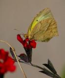 Mexican Yellow (Eurema mexicana)