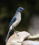 Mexican Jay (Aphelocoma ultramarina)