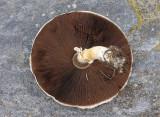 Ängschaminjon (Agaricus campestris)