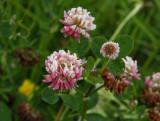 Alsikeklöver (Trifolium hybridum)