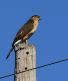 Coopers´s Hawk (Accipiter cooperii)