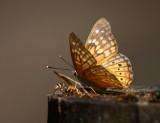 Tawny Emperor (Asterocampa clyton)