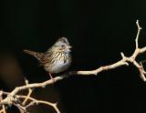 Lincoln´s Sparrow (Melospiza lincolnii)