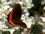 Red Rim (Biblis hyperia)