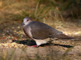 White-tipped- Dove (Leptotila verreauxi)