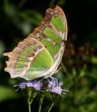 Malachite (Siproeta stelenes)