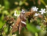 White-striped Longtail (Chioides albofasciatus)
