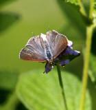Silver-banded Hairstreak (Chlorostrymon simaethis)