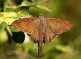 Brown Longtail (Urbanus procne)