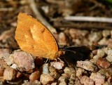 Sleepy Orange (Abaeis nicippe)