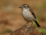 Canary Chat (Saxicola dacotiae)