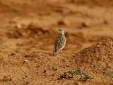 Lesser Short-toed Lark (Calandrella rufescens)