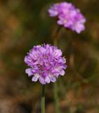 Strandtrift (Armeria maritima ssp. maritima )