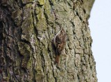 Short-toed Tree-Creeper (Certhia brachydactyla)