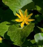 Svalört (Ranunculus ficaria)