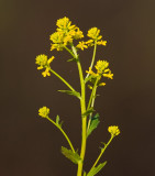 Sommargyllen (Barbarea vulgaris)