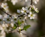 Slånbär (Prunus spinosa)