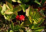 Stenbär (Rubus saxatilis)