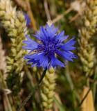 Blåklint (Centaurea cyanus)