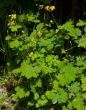 Skelört (Chelidonium majus)