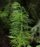 Skogsfräken (Equisetum sylvaticum)
