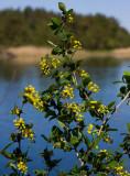 Berberis (Berberis vulgaris)