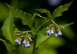 Uppländsk vallört (Symphytum uplandicum))