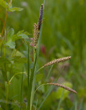Slankstarr (Carex flacca)
