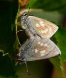 Fjällvickerblåvinge (Albulina orbitulus)