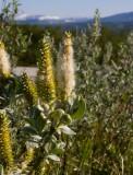 Ullvide (Salix lanata)