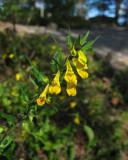 Skogskovall (Melampyrum sylvaticum)