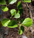 Klibbal (Alnus glutinosa)