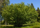 Hassel (Corylus avellana)