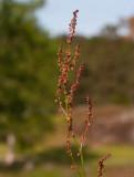 Ängssyra (Rumex acetosa)