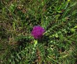 Jordtistel (Cirsium acaule)
