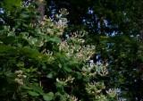 Kaprifol (Lonicera caprifolium)