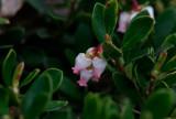 Mjölon (Arctostaphylos uva-ursi)