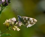 Grönfläckig vitfjäril (Pontia daplidice)