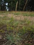 Tofsäxing (Koeleria glauca)