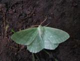 Dagfjärilsmätare (Geometra papilionaria)