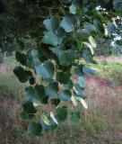 Lind (Tilia cordata)