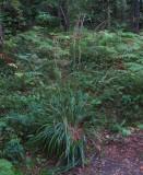 Piprör (Calamagrostis arundinacea)