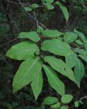 Kaukasisk try (Lonicera caucasica)