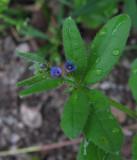 Paddfot (Asperugo procumbens)