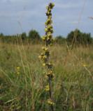 Alvarmalört (Artemisia oelandica)