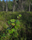 Dvärgbjörk (Betula nana)