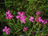 Backnejklika (Dianthus deltoides)