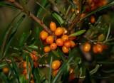 Havtorn (Hippophaë rhamnoides)