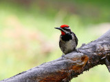 Red-naped Sapsucker (Sphyrapicus nuchalis)